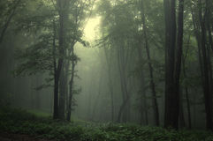 Green forest. Light in a misty forest Stock Image