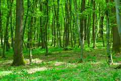 Green forest. Beautiful green forest with sunlight shining through the branches Royalty Free Stock Photography