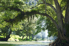 Green forest. A big curved tree standing on a river bank in a forest Royalty Free Stock Photo