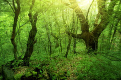 Free Green Forest Stock Photography - 20617042