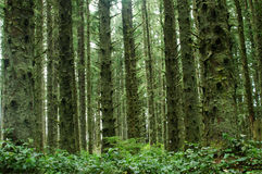 Green Forest. A beautiful green Oregon forest royalty free stock photography