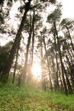 Green forest. With sunray on the background Royalty Free Stock Photography