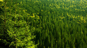 Green forest background Royalty Free Stock Images