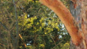Green forest background. Forest background. Pine tree. Pine tree trunk. Sunlight pine forest. Bright green natural background. Pine tree forest background stock video footage