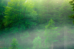 Green forest background Royalty Free Stock Image