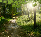 Green forest background in sunny day Royalty Free Stock Photo