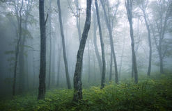 Green forest with blue fog in summer Stock Photos