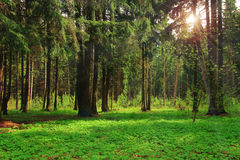 Green forest bright sunny day shine rays of sun Stock Images