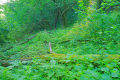 Green forest with broken trees. Green forest scenery with old tree Stock Photography