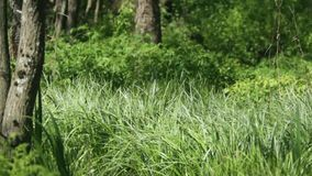 Green forest dense thickets stock footage