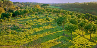 Green forest at dusk Royalty Free Stock Image