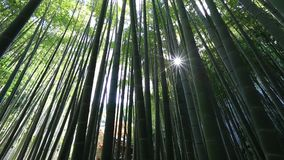 Bamboo background forest stock video