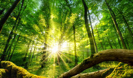 Green forest enchanted by the sun Stock Image