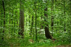 Really green forest in europ. Really green forest in Czech rep.EU royalty free stock photos