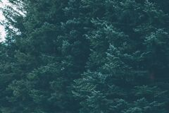 Green forest of evergreen conifer trees Stock Images