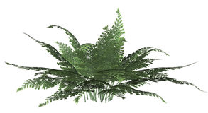 Green Forest Fern Stock Photography