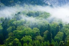 Green forest in the fog Stock Image