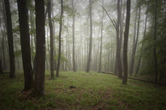 Green forest with fog Royalty Free Stock Photo