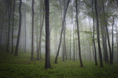 Green forest with fog and rain in summer Royalty Free Stock Image
