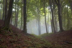 Green forest with fog Royalty Free Stock Images