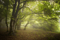 Green forest with fog and strange trees in early autumn stock photography