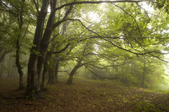 Green forest with fog in summer with eerie trees. Green forest with fog in summer with eerie looking trees royalty free stock images