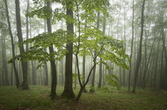 Green forest with fog in summer after rain Royalty Free Stock Photo