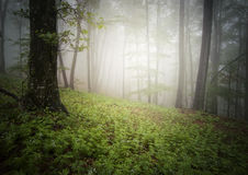 Green forest with fog in summer Royalty Free Stock Image