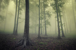 Green forest with fog between trees royalty free stock image