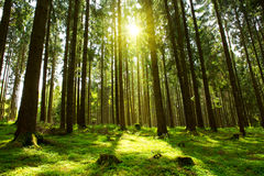 Green Forest. Stock Image