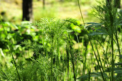 Green forest grass Royalty Free Stock Photo