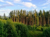 Green forest. Siberia, Russia stock images