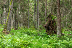 Green forest after hurricane with broken tree Stock Image