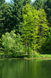 Green forest at lake Stock Photo