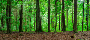Green Forest Landscape Panorama. Royalty Free Stock Photo