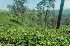 Green forest landscape with tea bush, trees and lush on green hills. Sri Lanka environment.  Royalty Free Stock Images
