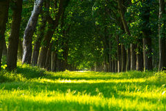 Green forest lane Royalty Free Stock Image