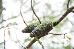 Green forest lichen fungus moss growing on pine cones Stock Photos