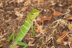 Green Forest Lizard close up in Sri Lanka Stock Images
