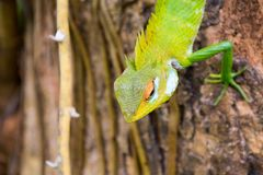 Green forest Lizard in Sri Lanka stock images
