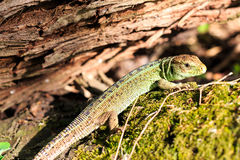 Green forest lizard sitting on a tree. Wild lizard green. Zootoca vivipara. Stock Photography