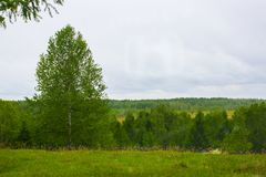 Green forest and lonely wood. Under grey rainy sky Royalty Free Stock Image