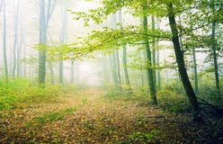 Green forest in misty veil Stock Photos