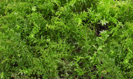 Green forest moss Royalty Free Stock Photo