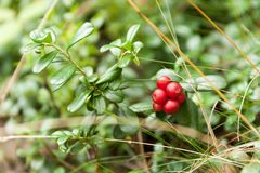 Green forest natural lingonberry, wild red ripe healthy antioxidant berry.  stock photography