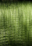 Green forest nature horsetai background Royalty Free Stock Photos