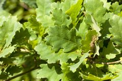 Green forest oak ecology. Closeup solid green oak foliage in a deciduous forest stock image