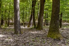 Green forest with oak trees Royalty Free Stock Image