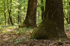 Green forest with oak trees Stock Image