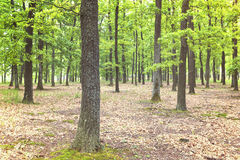 Green forest with oak trees Royalty Free Stock Images